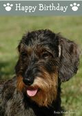 Miniature Wire Haired Dachshund-Happy Birthday (No Theme)